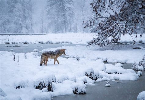 coyote hunting in the snow outdoor photographer