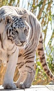 Beautiful white tiger - Picture of Kathleen Reeder ...