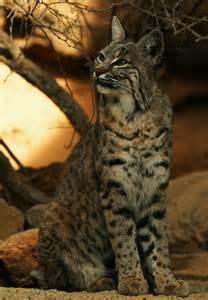 Wild Animals Bobcat