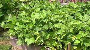 Blue Lake Bush Green Beans in Raised Beds - YouTube