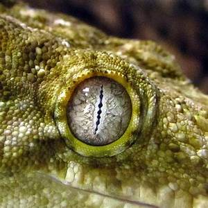 The Rhacodactylus Geckos Of New Caledonia  Eyes With No