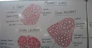 Histology Slides Database  Histological Diagram Of Mammary