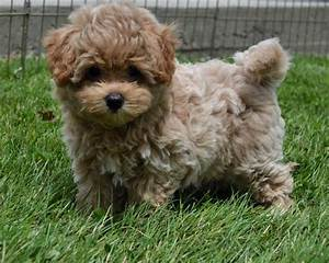 Designer and mix puppies, morkies, maltipoos, red ...