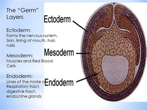 Ectoderm Mesoderm En Endoderm