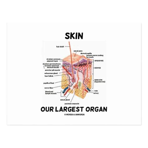 largest organ in the human body is k--k.club 2018