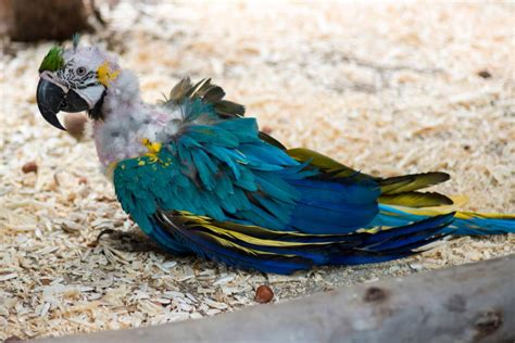 an amazingly detailed explanation of molting in birds