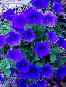 Beautiful Blue Wave Petunias | Florida Container Gardening ...
