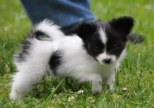 Black and White Papillon Puppy