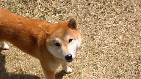 Japanese Dog Breed You