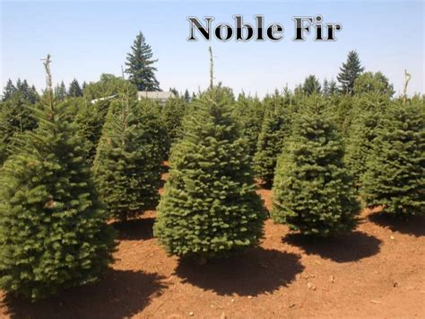 all about christmas trees all types of christmas trees 4699