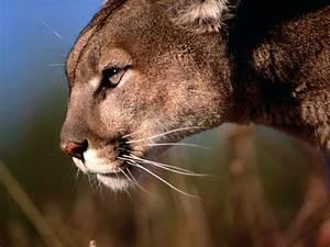 Cougar | The Biggest Animals Kingdom