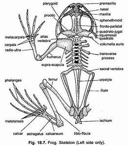 Endoskeleton Of Indian Frog  With Diagram
