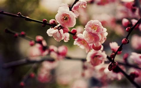 cherry blossoms sakura hd wallpapers desktop wallpapers