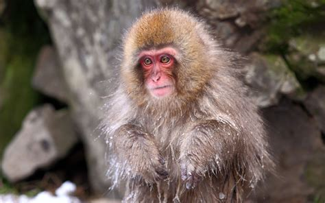 japanese macaque wallpapers backgrounds
