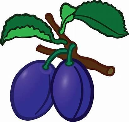 Clipart Plum Plums Education Fruit Tree Cliparts