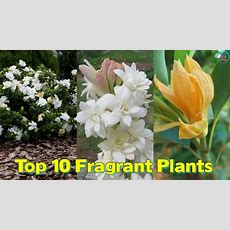 Fragrant Plants To Make Your Every Day A Refreshing