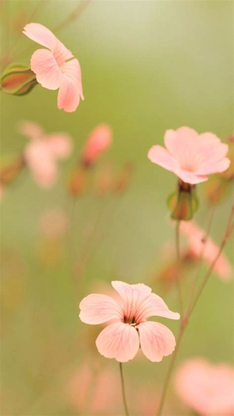 pink flowers  iphone hd wallpapers iphone