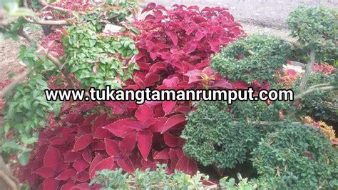 jual pohon miana beraneka warna daun tukang taman