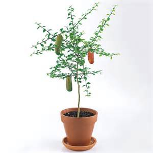Plants For The Bathroom by Finger Lime Trees The Green Head