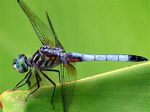 Dragonfly | The Biggest Animals Kingdom
