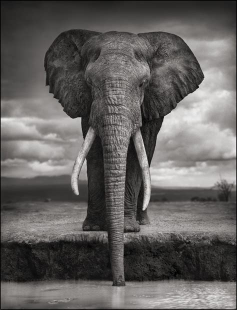 nick brandt majestic animal portraits construction dairy