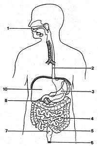 Digestive System Diagram For Drawing