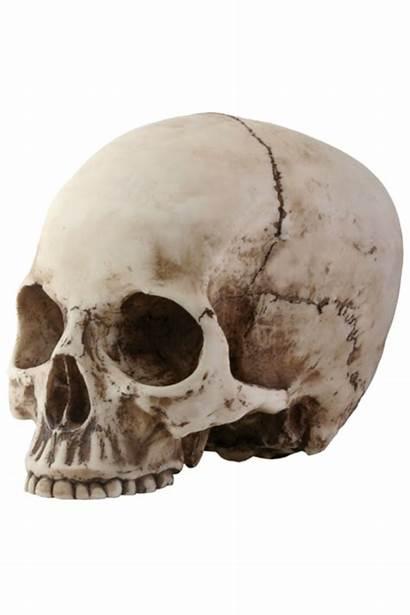 Skull Skeleton Head Transparent Clipart Skulls Jaw