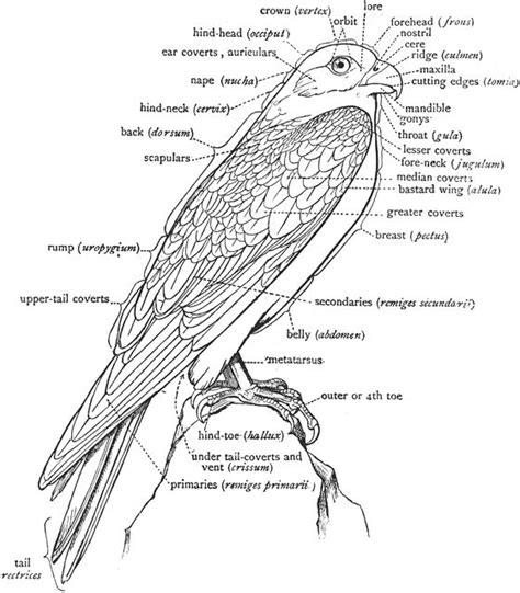 labeled diagram   falcon  show  nomenclature