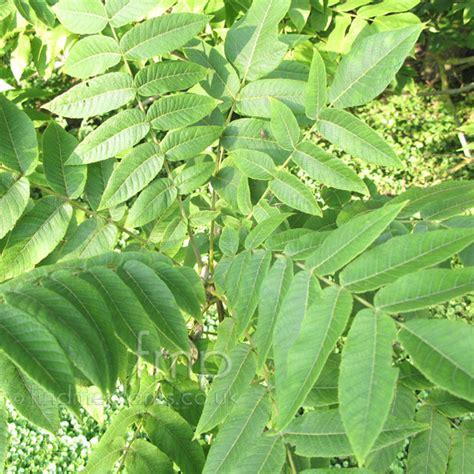 plant pictures plant pictures juglans cathayensis walnut juglans secondary image