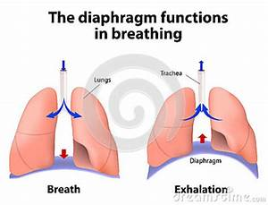 The Diaphragm Functions In Breathing Stock Vector