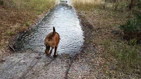 mastiff fun   water youtube