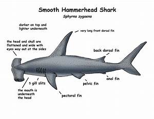 Free Shark Diagrams