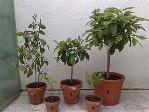 Avocado Pflanze Pflege : zitruspflanzen w hrend der wachstumsphase vegetation daheim ~ Lizthompson.info Haus und Dekorationen