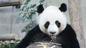 Pandas Eating Carrots images