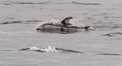 Sided Pacific Area Dolphins Obliquidens Lagenorhynchus Seeking