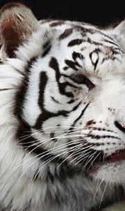 white tiger wallpaper - HD Desktop Wallpapers | 4k HD