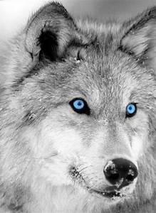 Wilk – wyjący drapieżca | DinoAnimals.pl