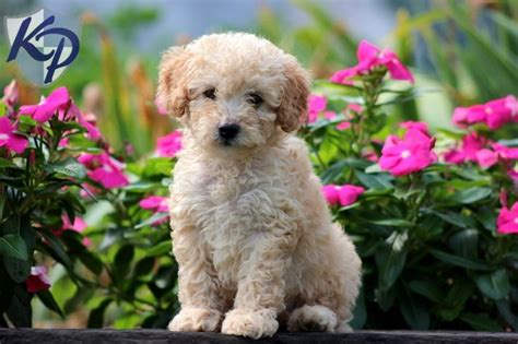 Best Images About Bichpoo Puppies On Pinterest