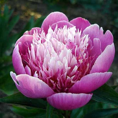 peonies growing season 29 best images about party time on pinterest