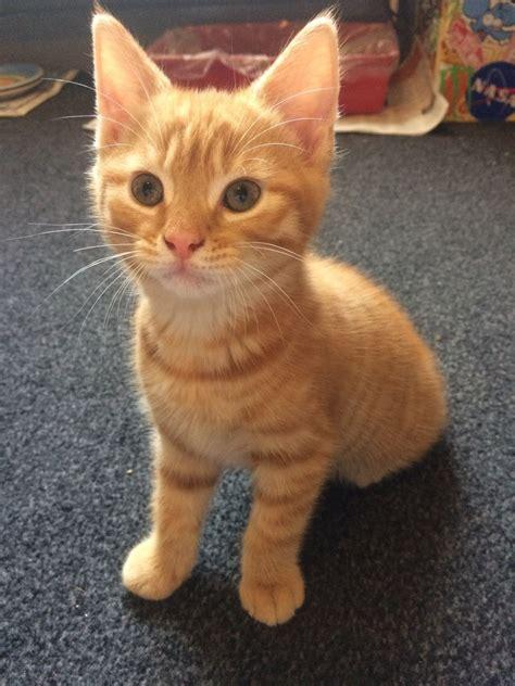 Male Ginger Tabby Kitten Bury St Edmunds Suffolk
