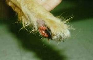 Blastomycosis In Dogs Blastomycosis In Dogs Symptoms Treatment And Prevention