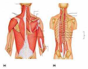 Mucles Of Posterior Neck  Trunk  And Arm