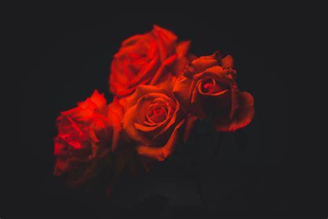 fresh petals 27 roses images free images on unsplash