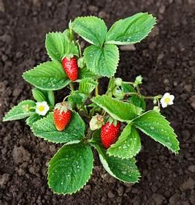 Erdbeeren Richtig Pflanzen : erdbeeren im garten optimal pflegen berwintern ~ Lizthompson.info Haus und Dekorationen