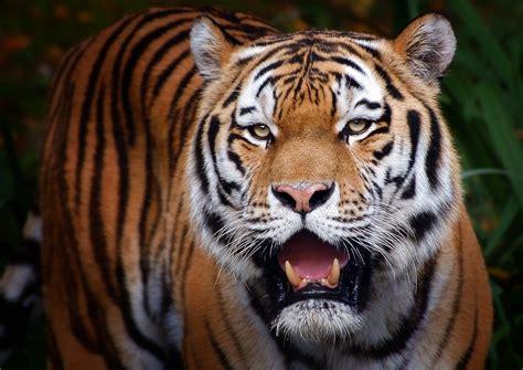 Lass Ihn Raus Den Tiger lass ihn raus den tiger foto bild tiere zoo