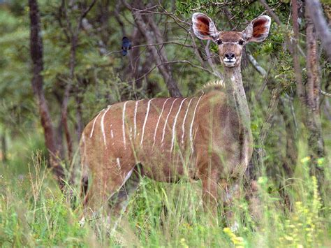 In South Africa Ranchers Are Breeding Mutant Animals to