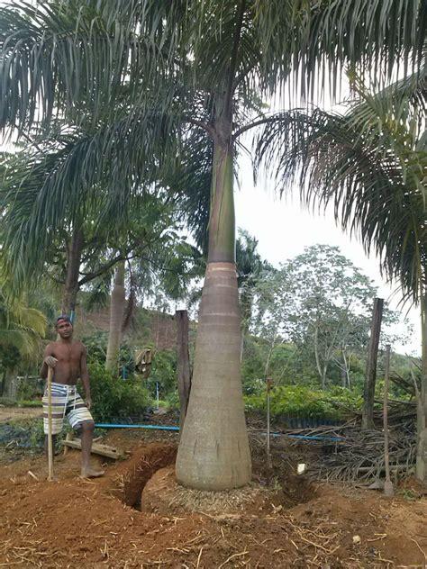 Comprar Palmeira Imperial - Mudas e Palmeiras Adultas ...