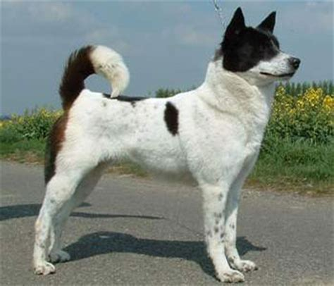 canaan dog breed