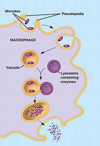 Phagocyte  Engulfs Microbes And Uses Lysosomes To Digest