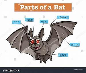 Diagram Showing Parts Bat Illustration Stock Vector